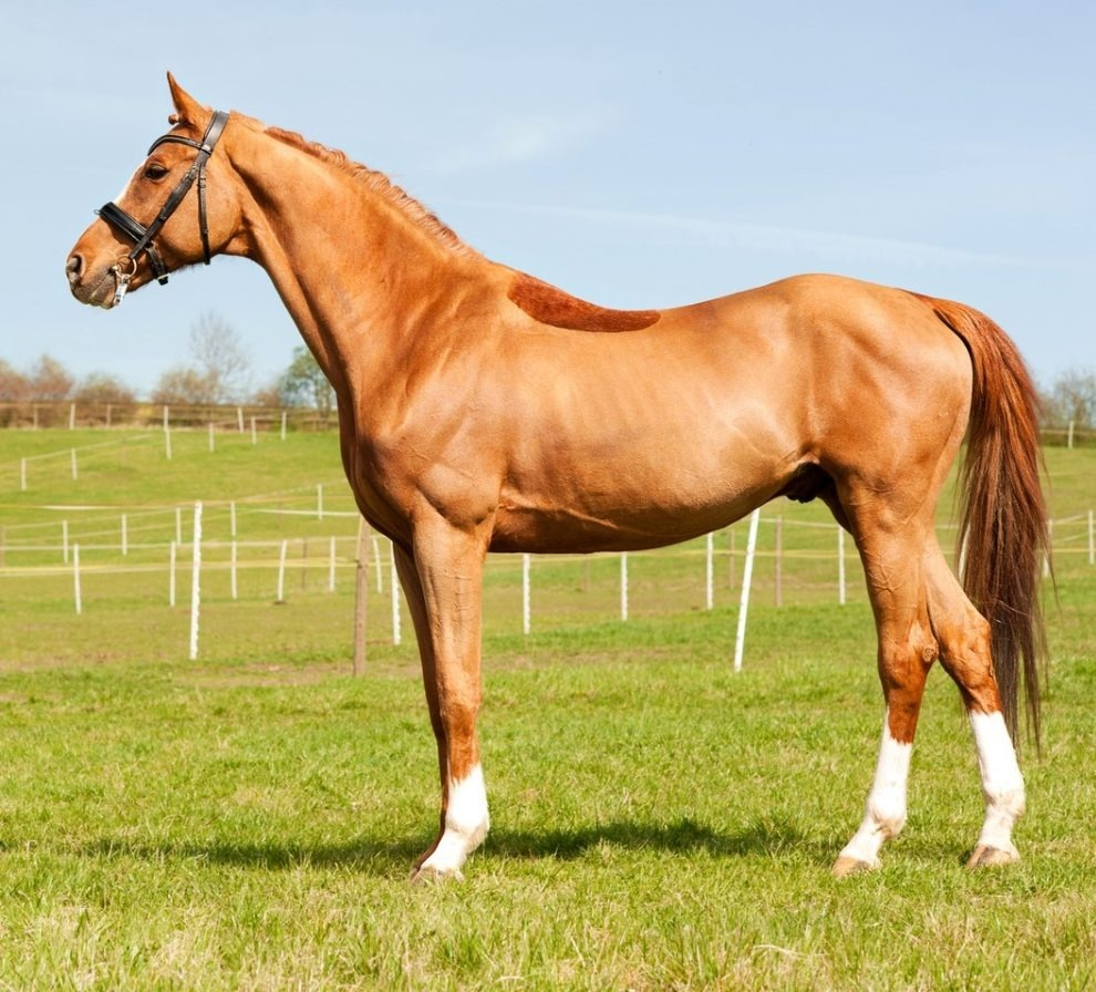 Thoroughbred – the North American Horse